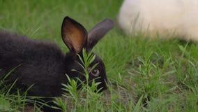 Το μαύρο αστείο κουνέλι με τα μεγάλα αυτιά πηδά σε ένα πράσινο λιβάδι και τρώει τη χλόη φιλμ μικρού μήκους