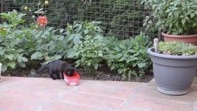 Το μαύρο γατάκι είναι πόσιμο γάλα απόθεμα βίντεο