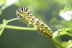 Το μαύρο και κίτρινο Caterpillar σε έναν μίσχο στοκ φωτογραφία με δικαίωμα ελεύθερης χρήσης