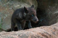Το μαύρο κουτάβι λύκων (Λύκος Canis) αναρριχείται από το κρησφύγετο Στοκ φωτογραφίες με δικαίωμα ελεύθερης χρήσης