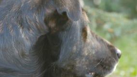Το μαύρο περιπλανώμενο σκυλί βρίσκεται στη χλόη στη στενή επάνω άποψη πάρκων απόθεμα βίντεο