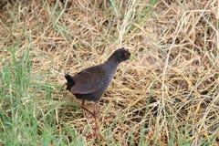 Το μαύρο flavirostra Amaurornis crake είναι ένα waterbird στη ράγα και crake την οικογένεια Στοκ εικόνα με δικαίωμα ελεύθερης χρήσης