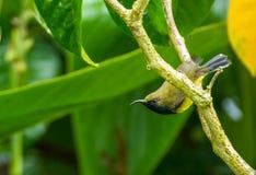 Το μαύρο sunbird ελιών Στοκ φωτογραφίες με δικαίωμα ελεύθερης χρήσης