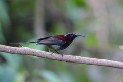το μαύρο sunbird Στοκ εικόνα με δικαίωμα ελεύθερης χρήσης