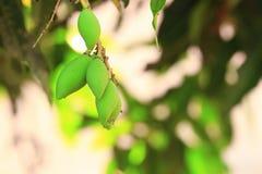 Το μαλακό μάγκο στα δέντρα, ως υπόβαθρο φύσης Στοκ φωτογραφία με δικαίωμα ελεύθερης χρήσης