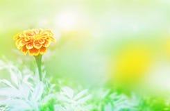 Το μαλακό marigold θαμπάδων λουλούδι ή το calendula ανθίζει στον κήπο στο πράσινο υπόβαθρο Στοκ φωτογραφίες με δικαίωμα ελεύθερης χρήσης
