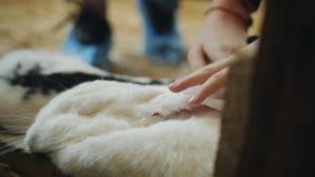 Το μεγάλο άσπρο κουνέλι κοιμάται Κορίτσι που κτυπά ένα μεγάλο άσπρο κο φιλμ μικρού μήκους
