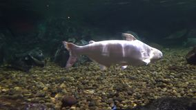 Το μεγάλο άσπρο ψάρι κολυμπά στο ενυδρείο Oceanarium φιλμ μικρού μήκους