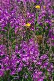 Το μεγάλο ή rosebay willowherb, angustifolium Chamerion, κινηματογράφηση σε πρώτο πλάνο ανθών, εκλεκτική εστίαση, ρηχό DOF Στοκ Εικόνες