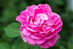 Το μεγάλο ανοιγμένο λουλούδι αυξήθηκε σε έναν θάμνο Στοκ εικόνες με δικαίωμα ελεύθερης χρήσης