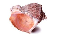 Το μεγάλο θαλασσινό κοχύλι conch απομόνωσε κοντά επάνω το άσπρο υπόβαθρο Στοκ Εικόνα