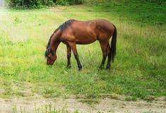 Το μεγάλο καφετί άλογο βόσκει σε ένα πράσινο λιβάδι Στοκ εικόνα με δικαίωμα ελεύθερης χρήσης