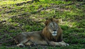 Το μεγάλο λιοντάρι χαλαρώνει στη σκιά την ηλιόλουστη ημέρα Στοκ Εικόνα