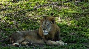 Το μεγάλο λιοντάρι χαλαρώνει στη σκιά την ηλιόλουστη ημέρα Στοκ φωτογραφία με δικαίωμα ελεύθερης χρήσης