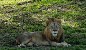 Το μεγάλο λιοντάρι χαλαρώνει στη σκιά την ηλιόλουστη ημέρα Στοκ εικόνες με δικαίωμα ελεύθερης χρήσης
