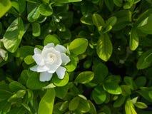 Το μεγάλο λουλούδι Gardenia στοκ φωτογραφίες με δικαίωμα ελεύθερης χρήσης