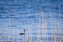 Το μεγάλο λοφιοφόρο πουλί cristatus Podiceps grebe στη λίμνη Στοκ εικόνες με δικαίωμα ελεύθερης χρήσης