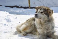 Το μεγάλο μιγία σκυλί βρίσκεται στο χιόνι Στοκ φωτογραφία με δικαίωμα ελεύθερης χρήσης