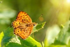Το μεγάλο πορτοκαλί paphia Argynnis πεταλούδων με τα μαύρα σημεία και τα κτυπήματα στα φτερά, φωτεινός και φωτεινός κάθονται στο  στοκ εικόνες
