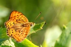 Το μεγάλο πορτοκαλί paphia Argynnis πεταλούδων με τα μαύρα σημεία και τα κτυπήματα στα φτερά, φωτεινός και φωτεινός κάθονται στο  στοκ εικόνα