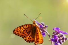 Το μεγάλο πορτοκαλί paphia Argynnis πεταλούδων με τα μαύρα σημεία και τα κτυπήματα στα φτερά, φωτεινός και φωτεινός κάθονται στο  στοκ φωτογραφίες με δικαίωμα ελεύθερης χρήσης