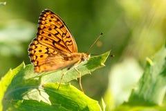 Το μεγάλο πορτοκαλί paphia Argynnis πεταλούδων με τα μαύρα σημεία και τα κτυπήματα στα φτερά, φωτεινός και φωτεινός κάθονται στο  στοκ φωτογραφία με δικαίωμα ελεύθερης χρήσης