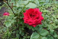 Το μεγάλο πορφυρό κόκκινο λουλούδι αυξήθηκε Στοκ φωτογραφίες με δικαίωμα ελεύθερης χρήσης