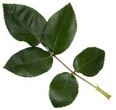 το μεγάλο πράσινο φύλλο α Στοκ Εικόνες
