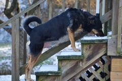Το μεγάλο σκυλί φρουράς αγοριών μου, Ducky στοκ εικόνα με δικαίωμα ελεύθερης χρήσης
