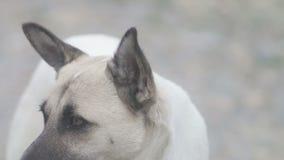 Το μεγάλο fawn και το άσπρο σκυλί εξετάζουν τη κάμερα απόθεμα βίντεο