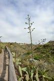 Το μεγάλο άνθος των εγκαταστάσεων αγαύης, Tenerife, κανάρια νησιά, Ισπανία, Ευρώπη Στοκ εικόνα με δικαίωμα ελεύθερης χρήσης