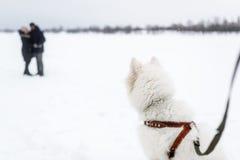 Το μεγάλο άσπρο σκυλί προσέχει το φιλώντας ζεύγος στη χειμερινή ημέρα στοκ εικόνες