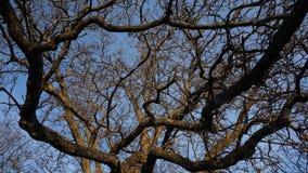 Το μεγάλο δέντρο διακλαδίζεται timelapse απόθεμα βίντεο