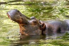 Το μεγάλο ζωικό hippopotamus στο νερό άνοιξε το στόμα του Στοκ εικόνες με δικαίωμα ελεύθερης χρήσης
