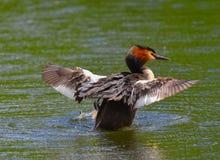 Το μεγάλο λοφιοφόρο grebe διαδίδει τα φτερά του Στοκ φωτογραφίες με δικαίωμα ελεύθερης χρήσης