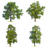 Το μεγάλο πράσινο δέντρο απομόνωσε το λευκό Στοκ Φωτογραφία