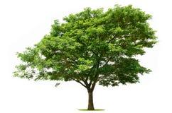 Το μεγάλο πράσινο δέντρο είναι φωτεινό στο λευκό Στοκ Εικόνα