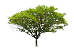 Το μεγάλο πράσινο φύλλο δέντρων απομονώνει στο λευκό Στοκ Εικόνες