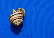 Το μεγάλο ριγωτό σαλιγκάρι σέρνεται αργά Στοκ Εικόνες