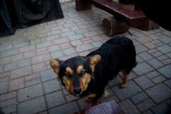 Το μεγάλο σκυλί Στοκ Εικόνες