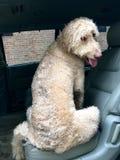 Το μεγάλο, υγρό σκυλί κάθεται σε Backseat του αυτοκινήτου Στοκ εικόνες με δικαίωμα ελεύθερης χρήσης