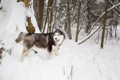 Το μεγάλο χνουδωτό όμορφο σκυλί περνά από το χειμώνα χιονιού Γεροδεμένος Στοκ Εικόνα
