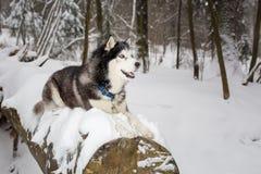 Το μεγάλο όμορφο σκυλί βρίσκεται σε ένα κούτσουρο Χειμώνας Γεροδεμένος Στοκ φωτογραφία με δικαίωμα ελεύθερης χρήσης