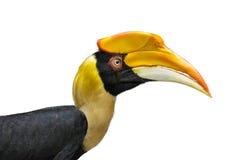 Το μεγάλο hornbill απομονώνει στο άσπρο υπόβαθρο, εκλεκτική εστίαση Στοκ Εικόνες