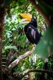 Το μεγάλο hornbill Στοκ Εικόνες