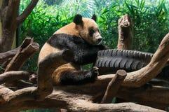 Το μεγάλο panda παίζει στο ζωολογικό κήπο Στοκ φωτογραφία με δικαίωμα ελεύθερης χρήσης