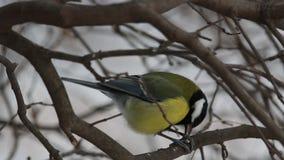 Το μεγάλο tit πουλιών (Parus σημαντικό) ραμφίζει το σπόρο καθμένος σε έναν κλάδο φιλμ μικρού μήκους