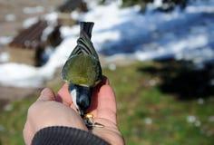 Το μεγάλο tit Parus σημαντικό κάθεται σε διαθεσιμότητα και τρώει τους σπόρους Στοκ εικόνες με δικαίωμα ελεύθερης χρήσης