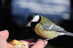Το μεγάλο tit Parus σημαντικό κάθεται σε διαθεσιμότητα και τρώει τους σπόρους Στοκ φωτογραφία με δικαίωμα ελεύθερης χρήσης