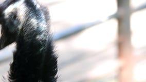 Το μεγαλύτερο rhea Rhea αμερικανική είναι ένα flightless πουλί που βρίσκεται στην ανατολική Νότια Αμερική απόθεμα βίντεο